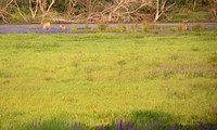 20140727 Deer in Field